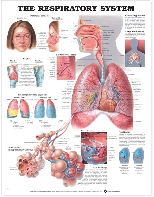 The Respiratory System Anatomical Chart - Anatomical Chart Company