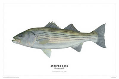 Striped Bass Poster - Flick Ford